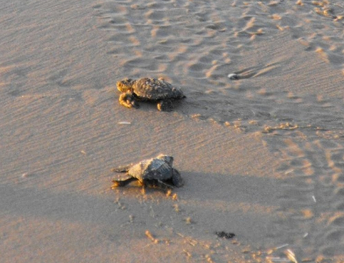 Protect our Beaches and Wildlife during Turtle Nesting Season